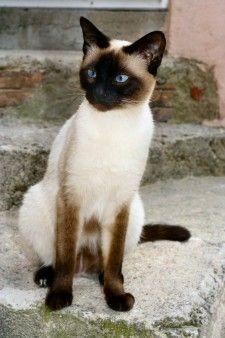 Nala, chat Siamois - Siamese cat