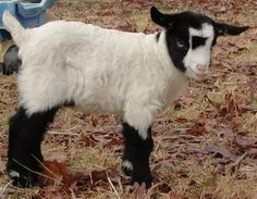 Fainting goat kid. Goats make me happy.