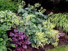 "Heuchera ""Amethyst Mist"" with alchemilla, hosta, hakone grass. Add some alliums somewhere, and I'm happy."