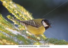 Great tit (Parus major) is a passerine bird in the tit family Paridae.