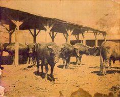 haciendas taurinas | Un encierro, probablemente de la hacienda de Atenco. Características ...