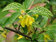 Kumson Forsythia, This is going in our yard this spring.