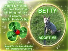 Mount Vernon Animal Shelter , NY (Westchester Cnty) Betty, sweet Betty. A small sized female, approx 1 years old, with a big heart. She would be perfect for a house and/or an apartment.. she enjoys her walks & loves affection. For more info on Betty you can call the shelter (914) 665-2444 or stop by & meet her.