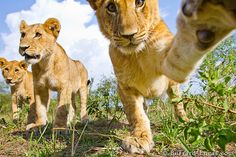 A playful lion cub takes a swipe at a trailcam. Burrard-Lucas Wildlife photography