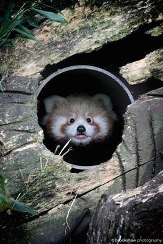 Red Panda Cub! by Gary Brookshaw on 500px