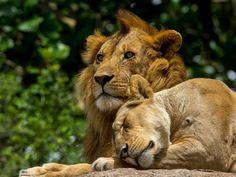 Lion Gorgeous Pair 1024x768