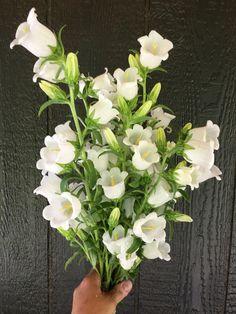 White campanula grown at Love 'n Fresh Flowers, a flower farm in Philadelphia Types Of Flowers, Green Flowers, Faux Flowers, Little Flowers, Exotic Flowers, Yellow Roses, Pink Roses, Anemone Flower, Cactus Flower