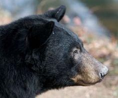 black_bear_profile