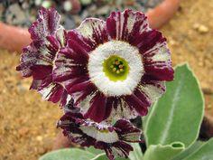 Primula auricula 'Regency Emperor' (a striped Show type)