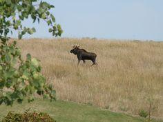 Moose in Vergas, MN- photo taken by my husband, Barry Kratzke