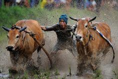 Was macht man eigentlich mit Reisfeldern, wenn die Ernte rum ist? Genau: Ochsen...