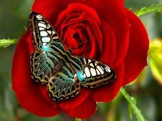 Butterfly on a rose.   https://m.facebook.com/Beauty0fNature01/