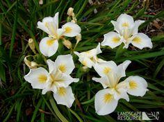 Iris douglasiana 'Canyon Snow': spring blooming variety of native iris Garden Beds, Garden Plants, Deer Resistant Garden, Smith Gardens, Wild Iris, Foundation Planting, Rain Garden, Nursery Signs, Spring Blooms