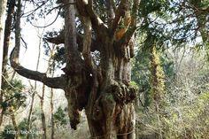 岩倉の乳房杉(ちちすぎ)(島根県)/Breast cedar of Iwakura(Chichi-sugi) (Shimane)