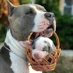Uplifting So You Want A American Pit Bull Terrier Ideas. Fabulous So You Want A American Pit Bull Terrier Ideas. Cute Little Animals, Cute Funny Animals, Funny Dogs, Funny Memes, Cat Memes, Baby Animals Pictures, Cute Animal Photos, Animals Dog, Cute Puppies
