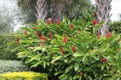 Red ginger (Alpinia purpurata).   One drawback is they flower on last seasons growth, this is no problem for zone 10b climates but in places where there there are winter freezes the foliage dies back and removes the chance of flowers the next season.