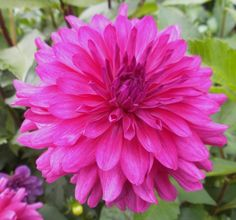 Decorative Dahlia 'Sea Electra'