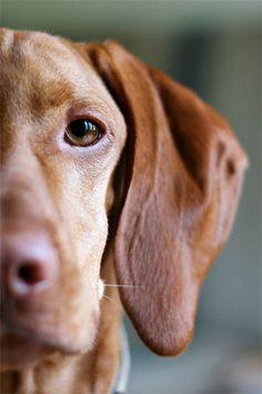 Eye of the Tiger - 8x12 Fine Art Photography Print - portrait dog puppy vizsla pet macro cute adorable love photograph.