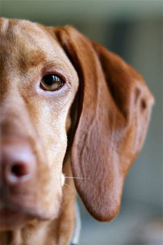 Eye of the Tiger - 8x12 Fine Art Photography Print - portrait dog puppy vizsla pet macro cute adorable love photograph.