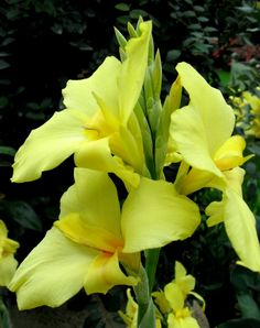 Canna Lily 'Conestoga' Beautiful Flowers Garden, Exotic Flowers, Tropical Flowers, Tropical Plants, Amazing Flowers, Yellow Flowers, Pretty Flowers, Beautiful Gardens, Canna Flower