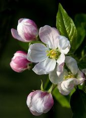 Pink Apple Blossoms on Black Background - Apple Blossom Time by Theresa Elvin~~ Flowers Nature, Spring Flowers, Art Floral, Amazing Flowers, Beautiful Flowers, Exotic Flowers, Simply Beautiful, Beautiful Things, Flower Pictures