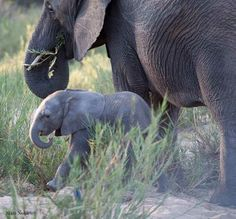 Cape Buffalo and Elephants at MalaMala in October http://blog.malamala.com/index.php/2013/11/cape-buffalo-and-elephants-at-malamala-in-october/