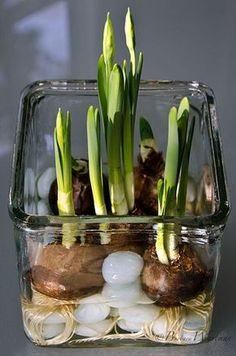 Holiday Garden Gifts: How To Force Bulbs, Amaryllis and Paperwhites Garden Plants, Indoor Plants, Garden Bulbs, Organic Gardening, Gardening Tips, Gardening Vegetables, Decoration Plante, Spring Bulbs, Deco Floral