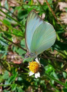 Mariposa Blanca Ascia monuste
