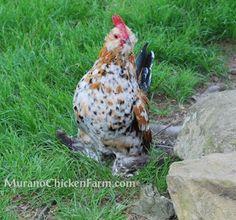 d'Uccle's: A true bantam breed