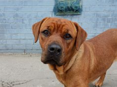 TO BE DESTROYED-MON 5/19/14, Brklyn Cntr MICKEY A0999699 FEMALE BRWN, MASTIFF MIX, 1 yr  STRAY 5/13/14 Volunteer says:Mickey seems house/crate trained. Reveals herself to be a sweetheart! Nervous outside...wary of passersby, a bit skittish w/ commotion, NO aggression. Loves treats & takes them gently. Stays close & despite her size/strength, walks nicely on leash. Comforted in being pet and willing to trust. Despite her fear, so sweet and gentle-I'm sure she will thrive in a home.