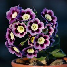 Primula Auricula, Garden Plants, Beautiful Flowers, Theatre, Garden Design, Succulents, Gardening, Seasons, Nature