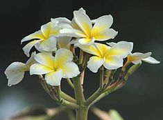 Flor de Sacuanjoche ◆Nicaragua - Wikipedia http://es.wikipedia.org/wiki/Nicaragua #Nicaragua