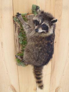 Life-size Raccoon Taxidermy Mount by BeaverRunWildlifeArt on Etsy