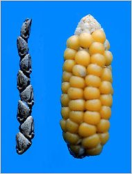 Looking at the skinny ears of teosinte, with just a dozen kernels wrapped inside a stone-hard casing, it is hard to see how they could be the forerunners of corn cobs with their many rows of juicy, naked kernels.