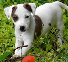 Beautiful Jack Russell Terrier Puppy...click on picture to see more