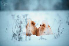 By Kseniya Ressy. Greenland Dog, Icelandic Sheepdog, All Types Of Dogs, German Spitz, American Akita, Japanese Spitz, Alaskan Malamute, Samoyed, Shiba Inu