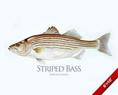 STRIPED BASS FISH PAINTING AMERICAN FISHING ART REAL CANVAS PRINT