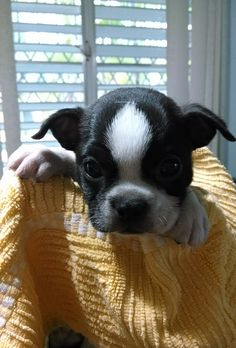I love Boston Terrier puppies; they are the cutest.