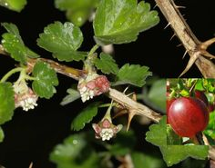 Groseillier à maquereaux - Ribes uva-crispa