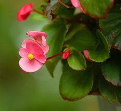BEGONIA SEMPERFLORENS. La clasificación más amplia de las begonias, divide a éstas en tres tipos: Begonias de flor,de hoja y arbustivas. .Esta es una de sus tantos y bellisimos ejemplares, una de sus mayores virtudes es que son capaces de florecer en una amplia variedad de climas.