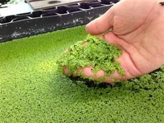 Feed Your Livestock AND Your Family With Prolific, Fast-Growing Duckweed... I found this interesting