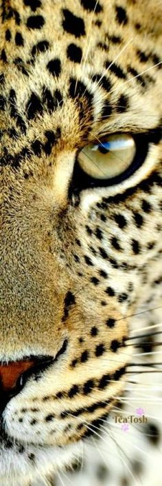 Leopard... 2017