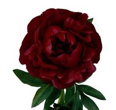 Peony Henry Bockstoce Mayesh Wholesale Florists - Search our Flower Library