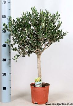 Amazing High Stem Olive Tree, a beautiful indoor plant, a perfect gift!