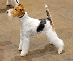 Wire Fox Terrier More