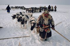 A Nenets woman leads her draught reindeer during the Spring migration. Yamal. Siberia. Russia.