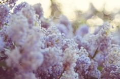 """floralls:  """" Lilac haze {explored} (by baby, picture this)  """""""