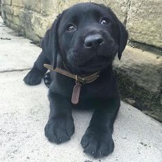 Mind Blowing Facts About Labrador Retrievers And Ideas. Amazing Facts About Labrador Retrievers And Ideas. Black Lab Puppies, Cute Puppies, Cute Dogs, Dogs And Puppies, Doggies, Corgi Puppies, Labrador Puppies, Funny Dogs, Retriever Puppies