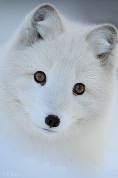 Arctic Fox. I want one!