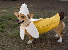 theairguitarist, here is a corgi in a banana costume. your argument. Dog Halloween Costumes, Pet Costumes, Woman Costumes, Pirate Costumes, Couple Costumes, Group Costumes, Couple Halloween, Adult Costumes, Halloween Fun